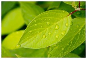 Green leaf original